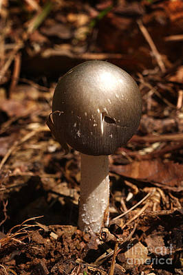 Agaricales Photograph - Fawn Mushroom Pluteus Cervinus by Susan Leavines