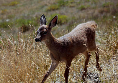 Fawn Photograph - Fawn Olympic National Park by Paul Shefferly