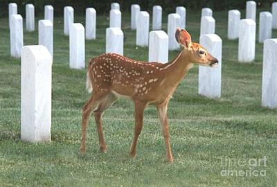 Missouri Whitetail Photograph - Fawn Pays Respects by Ronald Gater