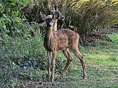 Photograph - Fawn by Ron Roberts