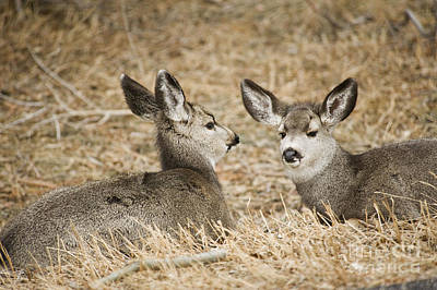 Fawns At Rest Art Print by Bob Dowling