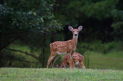 Photograph - Fawns by Greg Vizzi