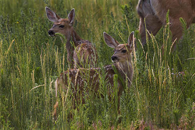 Mule Deer Fawn Photograph - Fawns by Jeff Shumaker