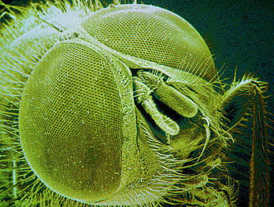 Housefly Wall Art - Photograph - F/col Sem Of The Head Of A Housefly by Power And Syred/science Photo Library
