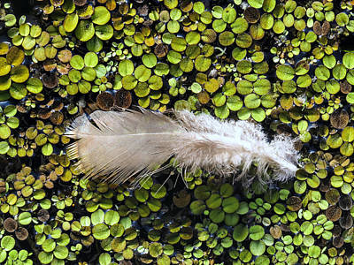 Abstract Photograph - Feather On The Duckweed by Zina Stromberg