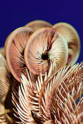 Crinoid Photograph - Feather Star Crinoid, Raja Ampat by Jaynes Gallery