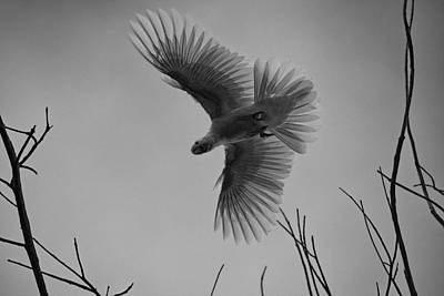 Cockatoo Photograph - Feathered Flight  by Douglas Barnard