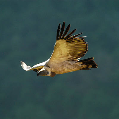 Photograph - Feathers In Flight by Alistair Lyne