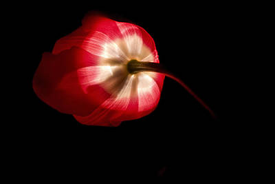 Backlit Tulip Photograph - Feathery Tulip by Andrew Soundarajan