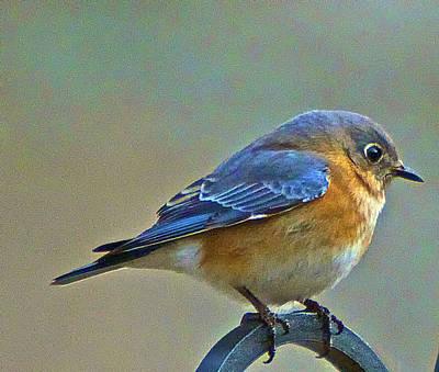 Febuary Bluebird  Art Print by Constantine Gregory