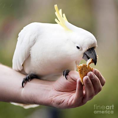 Pretty Cockatoo Photograph - Feeding Birds by Tim Hester