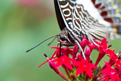 Art Print featuring the photograph Feeding Butterfly by John Hoey