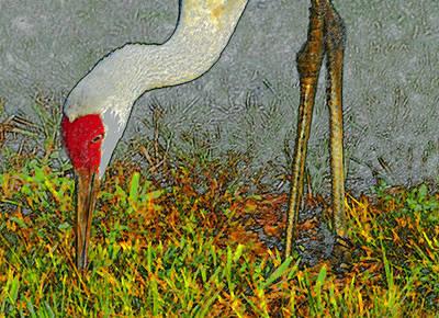 Feeding Crane Art Print