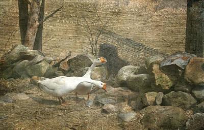 Feeding Geese   Art Print
