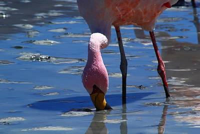Fire Photograph - Feeding Flamingo by FireFlux Studios