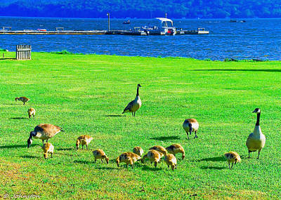 Photograph - Feeding Goslings In Alabama by Bob and Nadine Johnston