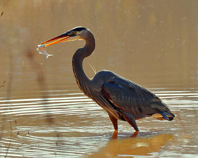 Feeding Great Blue Heron In Rural  Nc - C3197g Art Print