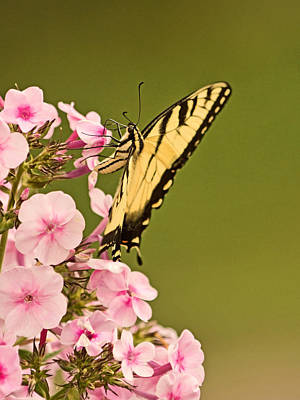 Photograph - Feeding On The Phlox by Theo OConnor