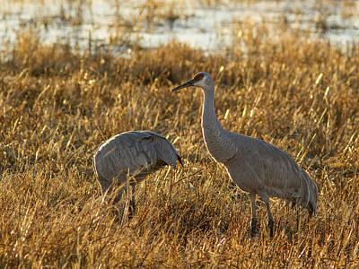Photograph - Feeding Sandhill Cranes by Jean Noren