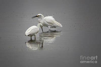 Photograph - Feeding Snowy Egrets by Ronald Lutz