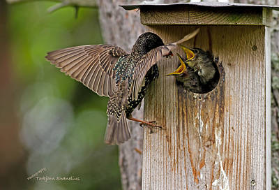 Starlings Photograph - Feeding Starlings by Torbjorn Swenelius