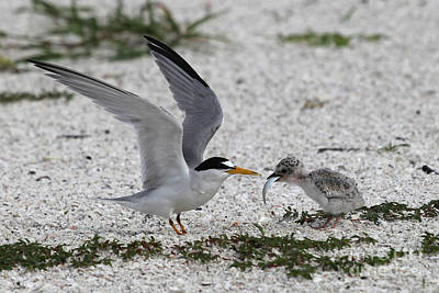 Photograph - Feeding Time - Least Tern by Meg Rousher