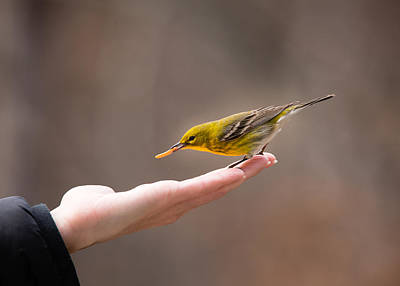 Bird And Worm Photograph - Feeding Time - Pine Warbler by Christy and Bruce Cox