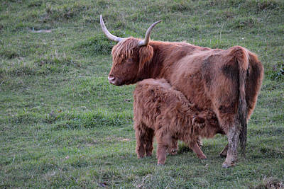 Photograph - Feeding Time Scottish Highland Cattle by rd Erickson