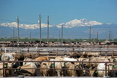 Factory Photograph - Feedlot Cattle by Jim West