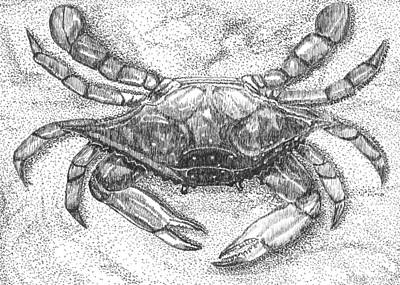 Blue Crab Drawing - Feeling Crabby by Stephany Elsworth