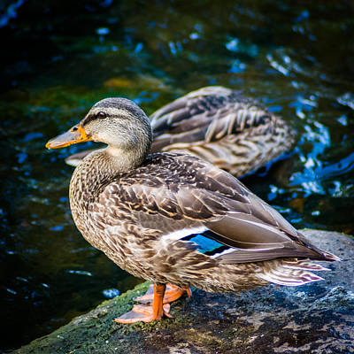 Feeling Just Ducky Art Print by Randy Scherkenbach
