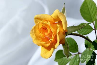 Peach Roses Photograph - Feeling Peachy by Krissy Katsimbras