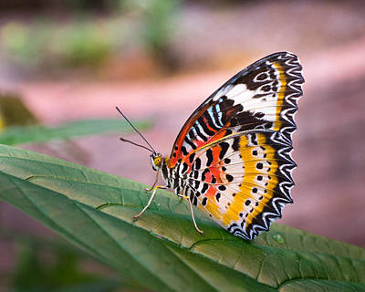 Photograph - Feista Butterfly by Bill Pevlor