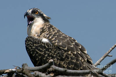 Photograph - Feisty Osprey Chick Calls by Lauren Brice