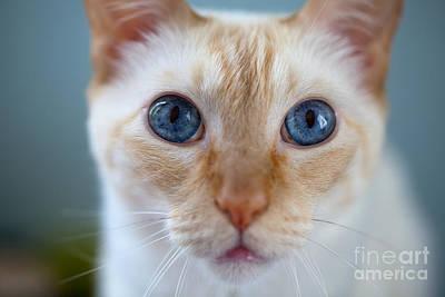 Felis Catus - Blue Eyed Flaimpoint Siamese Cat Closeup Art Print by David Gilder