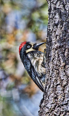 Photograph - Female Acorn Woodpecker - Phone Case Design by Gregory Scott