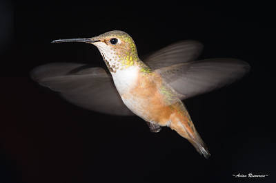 Photograph - Female Allen's Hummingbird by Avian Resources