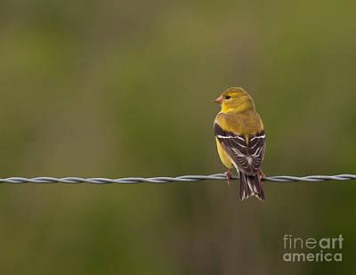 Female American Goldfinch Art Print by Douglas Stucky