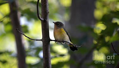 American Redstart Photograph - Undercover by Jaunine Roberts