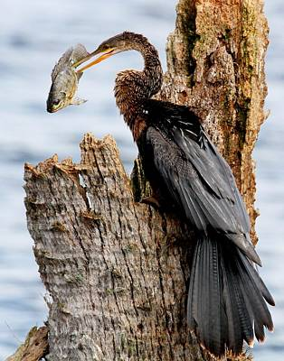 Photograph - Female Anhinga And Fish by Ira Runyan