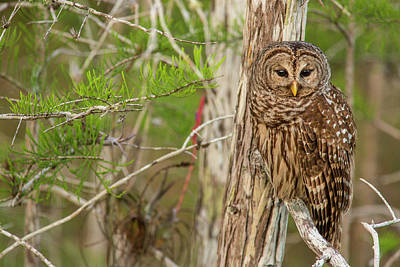 Barred Owl Photograph - Female Barred Owl (strix Varia by Chuck Haney