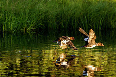 Goldeneye Photograph - Female Barrows Goldeneyes In Flight by Chuck Haney