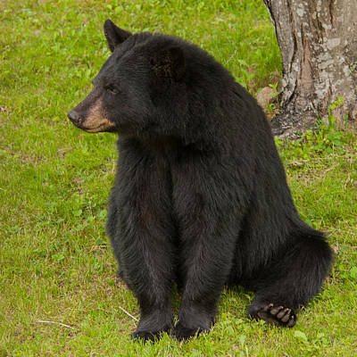 Photograph - Female Black Bear by Brenda Jacobs