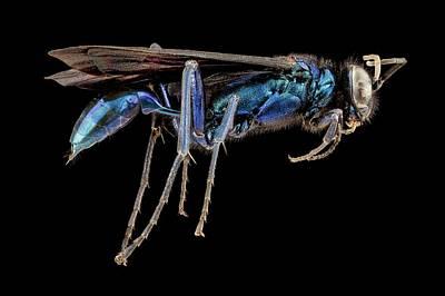 Female Blue Mud Dauber Wasp Art Print by Us Geological Survey