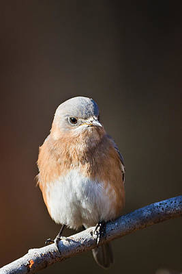 Bluebird Photograph - Female Bluebird by Bill Wakeley