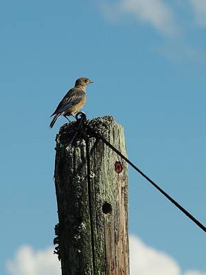 Photograph - Female Bluebird by Billy  Griffis Jr