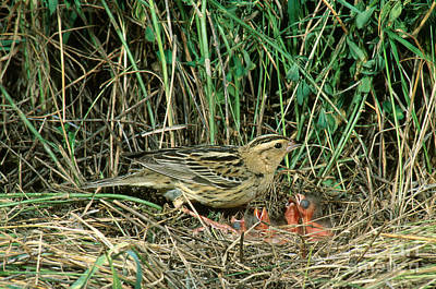 Female Bobolink At Nest Art Print by Anthony Mercieca