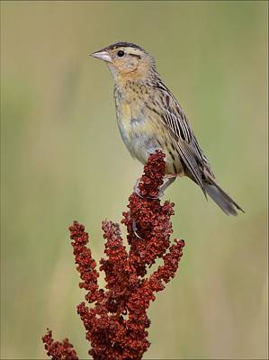 Animals Royalty-Free and Rights-Managed Images - Female Bobolink by Daniel Behm