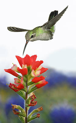 Photograph - Female Broadbill And Indian Paintbrush by Gregory Scott