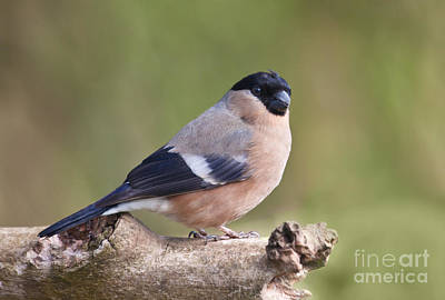 Finch Photograph - Female Bullfinch  Pyrrhula Pyrrhula by Liz Leyden
